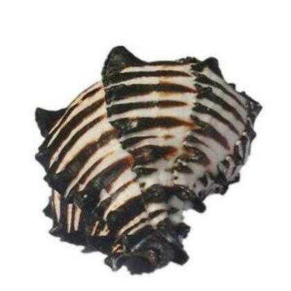 Zebra Conch
