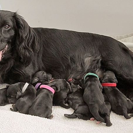 'Fizz' the Cocker Spaniel and her pups thrive on Winston & Porter's ®Nourish + C Multi Vitamin