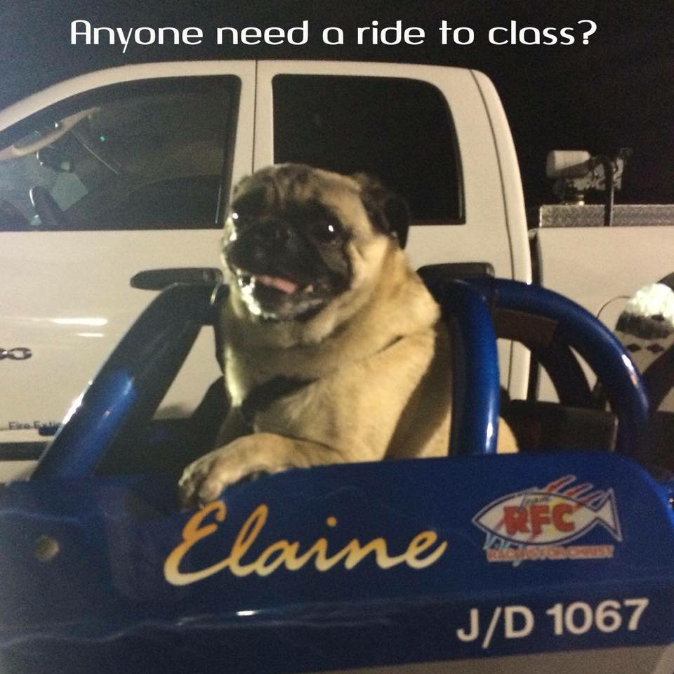 pug in blue