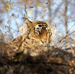 Tiger in Kanha National Park India