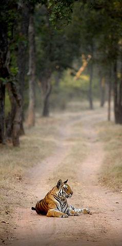 Tiger in Kanha National Park India.jpg