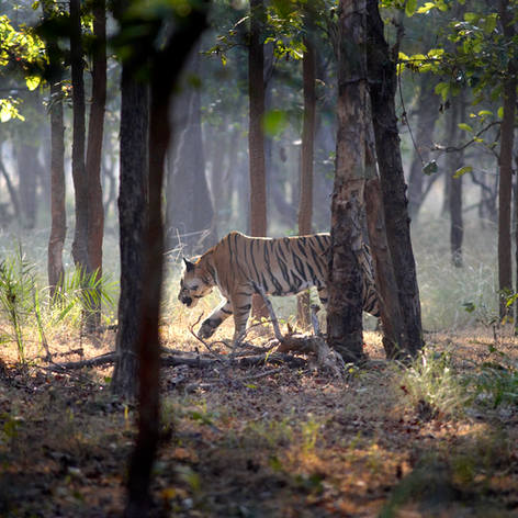 Tiger in Kanha National Park India