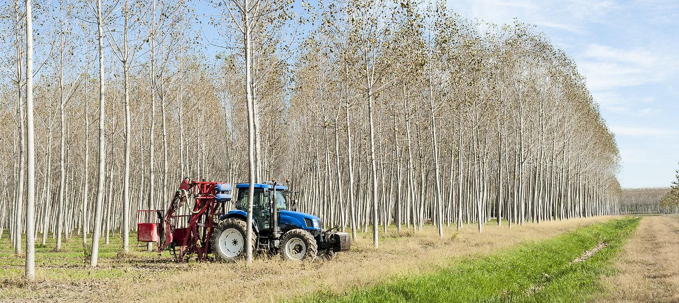 Poplar plantation.jpeg