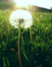 Dandelion_sun.jpg