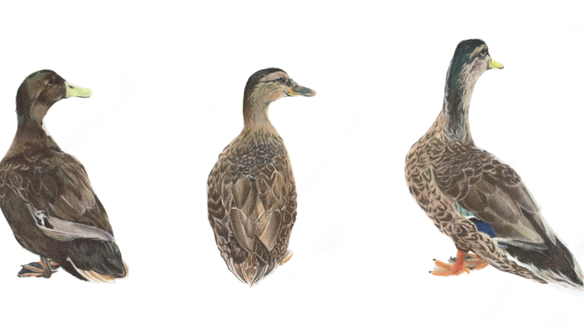 Ducks In A row 300dpicalendar.png