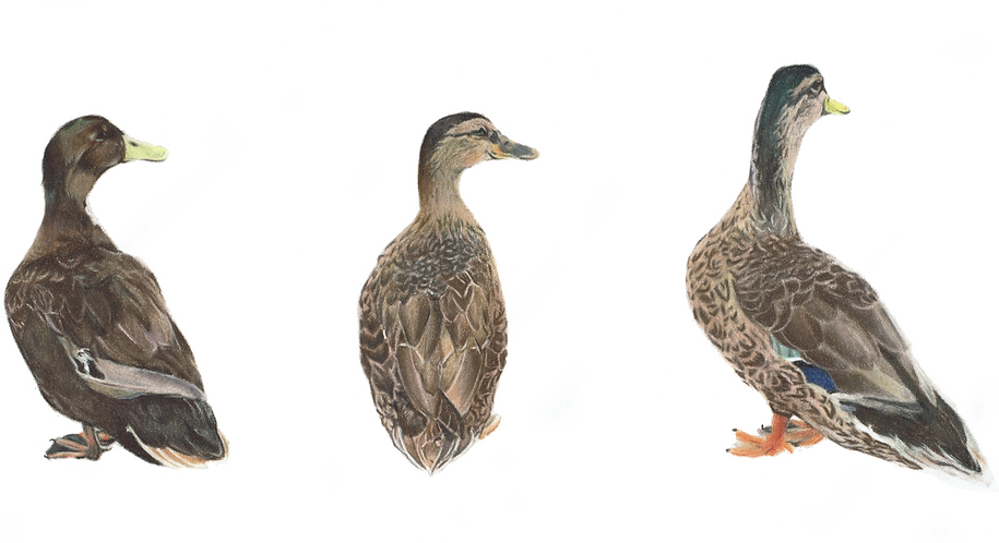 Ducks In A row 300dpicalendar.png