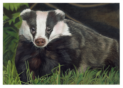 Badger_craigmaisfield.png