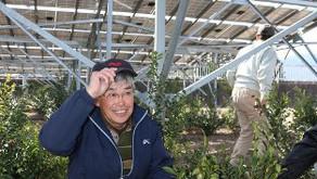 サカキ:太陽光発電施設で栽培、初出荷 美里 /埼玉 – 毎日新聞