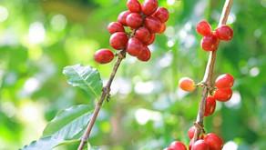 【ニュース】沖縄県のコーヒーソーラーシェアリング