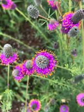 229277111-purple-prairie-clover-in-full-