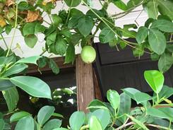 奄美大島(^^♪パッションフルーツ成り~~~♪