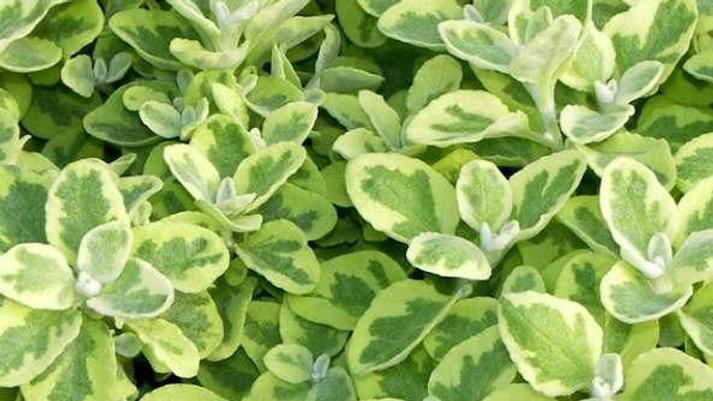Helichrysum Variegated