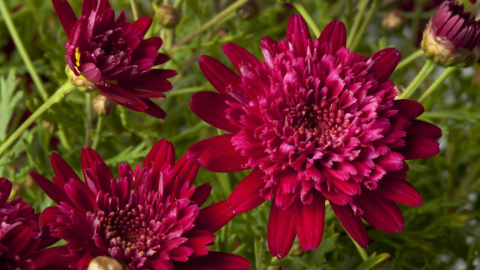 Marguerite Double Red