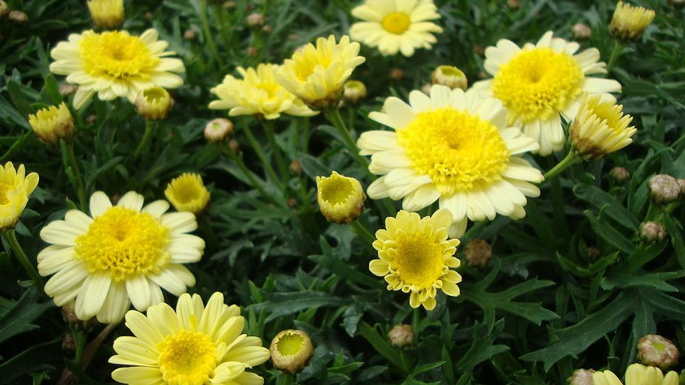 Marguerite Double Yellow