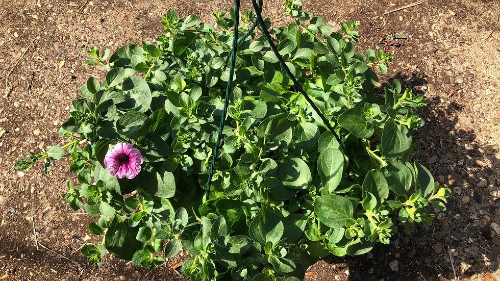 Trailing Petunia Pink Vein Hanging Baskets