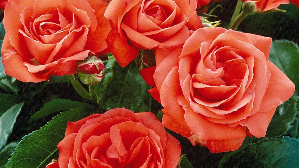 Floribunda Orange Sensation