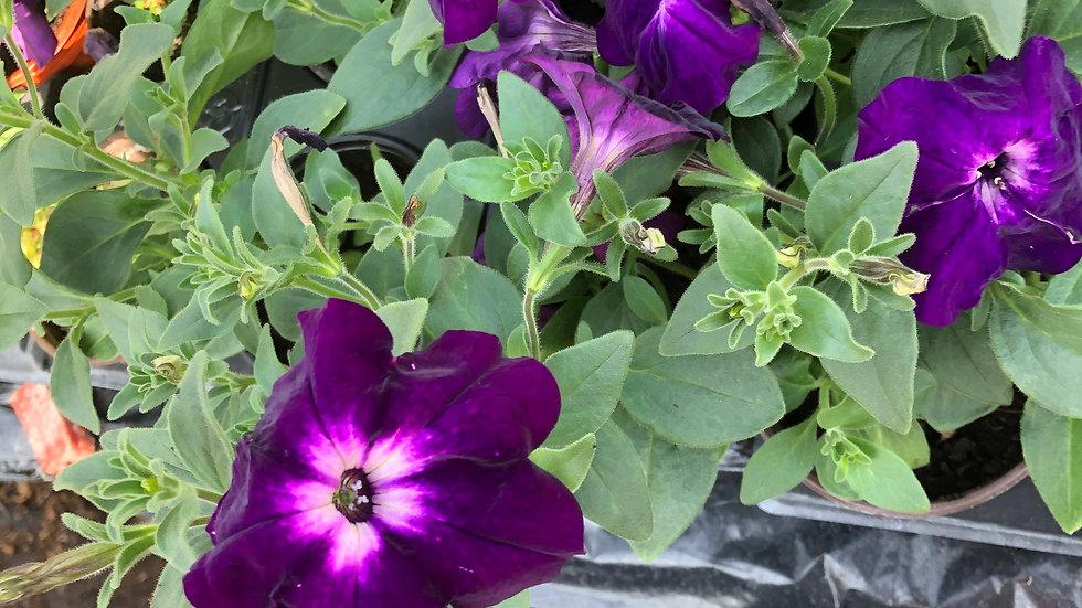 Petunia Purple White
