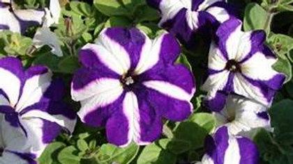 Petunia Blue Star