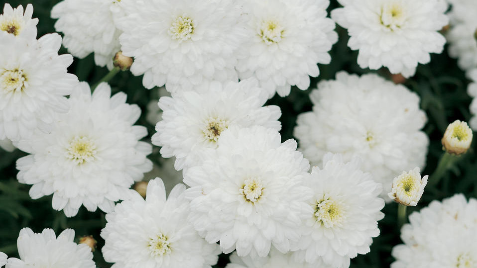 Marguerite Double White