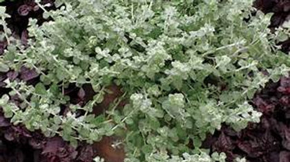 Helichrysum Microphylla