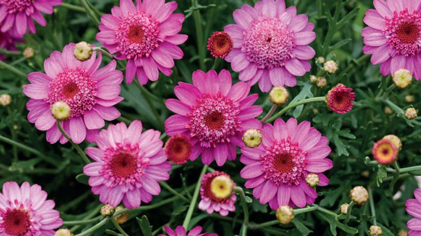 Marguerite Double Pink