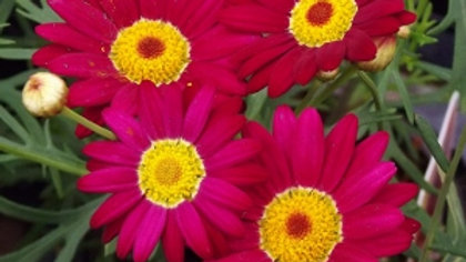 Marguerite Single Red