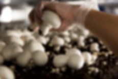 slide_23_-_Picking_mushroom_–_worker_han