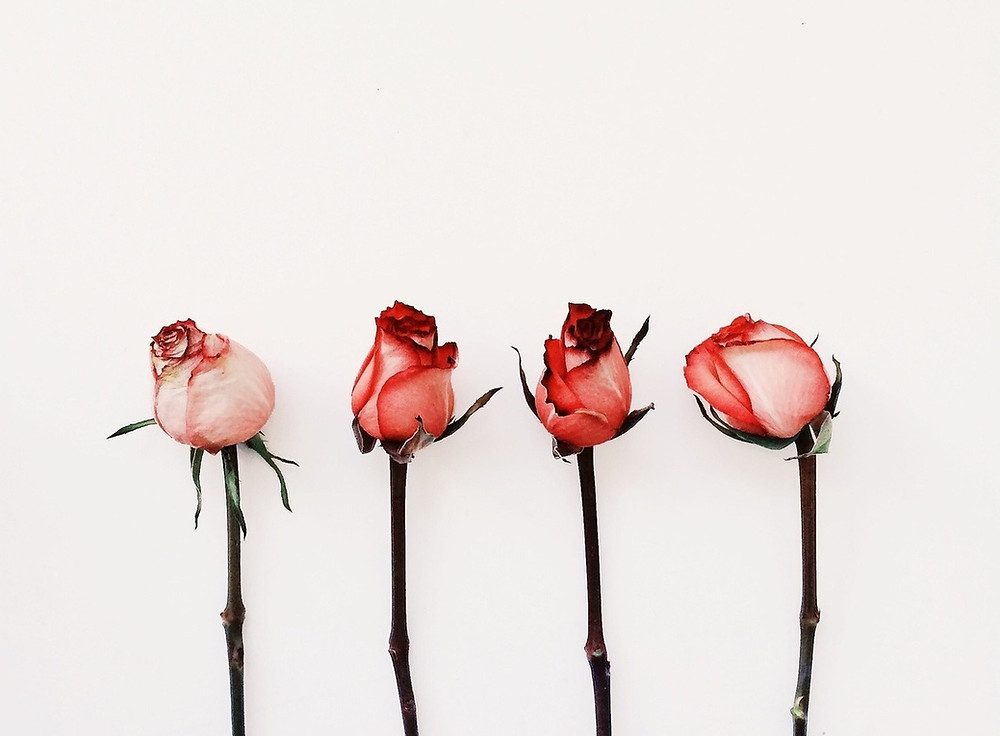 four pink roses on a white background