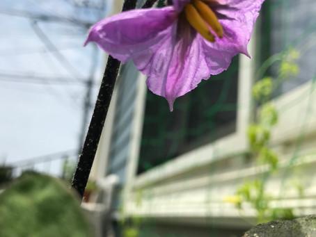 今日は 入居者様の育てている植物、 野菜のご報告です!