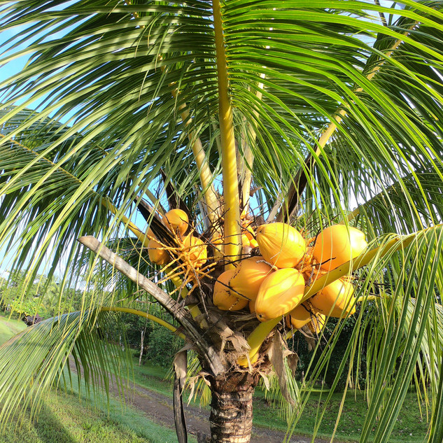 Coconuts2-sml.jpg