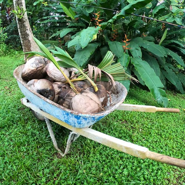 Coconuts3-sml.jpg