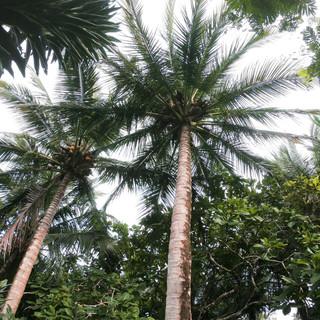 Coconuts.jpg