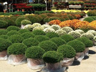 25% Off Mums for Chamber Members at All Seasons