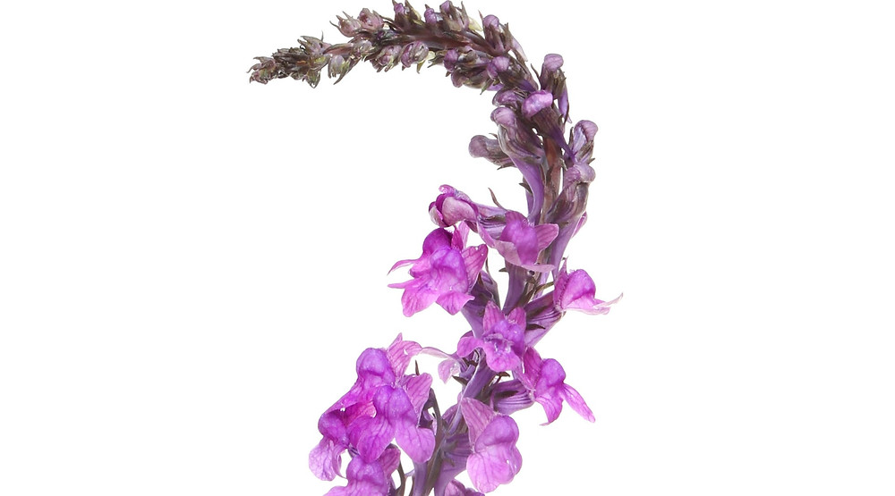 Purple toadflax is as drought-resistant as they come. Photograph: Alamy