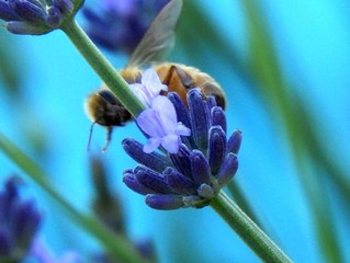 Gardening is good for you — and plant a little lavender, too ~By Laura DePrado, Correspondent