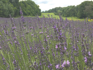 Lovely Lavender: Herb has uses in decor, the kitchen and more ~By Shannon Sigafoos of The Morning Ca
