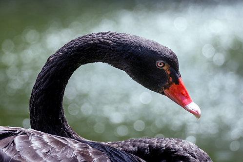 Swan on Print