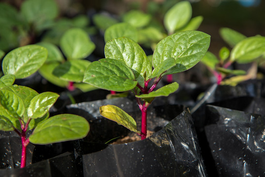 Red Malabar Spinach (close-up)