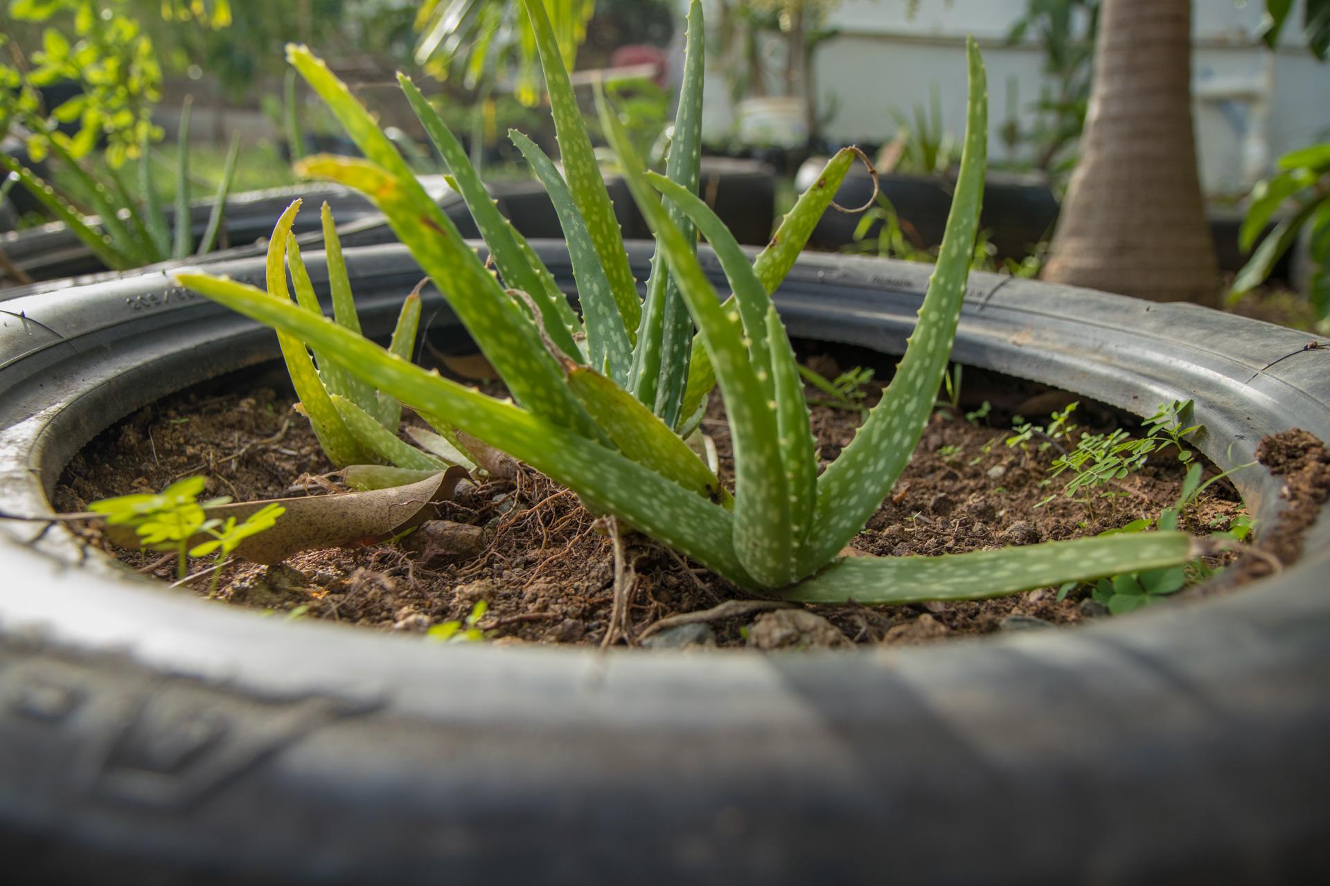 Aloe in a tyre