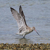The kuaka, bar-tailed godwit - credit Ro