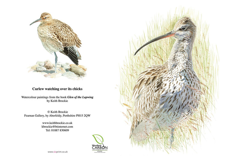 Curlew watching over its chicks