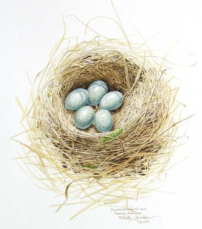 Blackbird nest