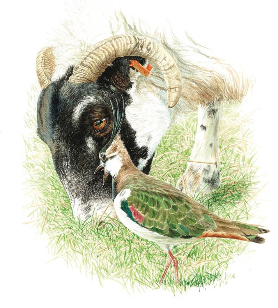 Ewe & Lapwing