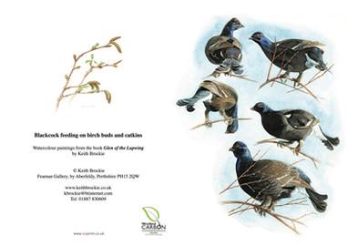 Blackcock feeding in Birch