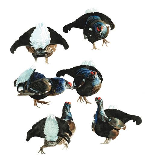 Displaying Blackcock