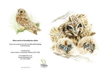 Short-eared owl brooding chicks