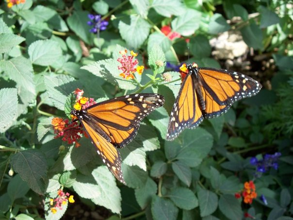 Mariposa Monarcha