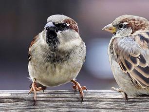 Sparrows Versus Blackbirds
