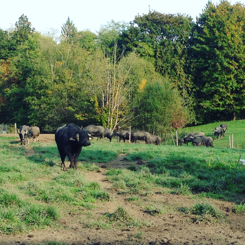 herd strolling.JPG