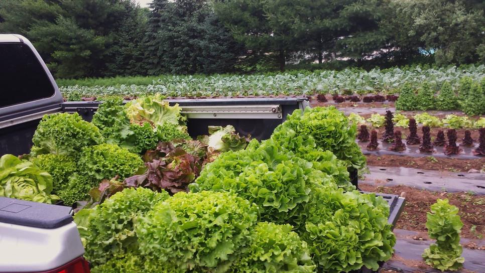Freshly picked lettuce